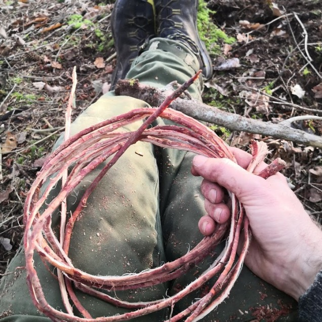 Spruce roots split
